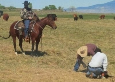 doctoring-cattle